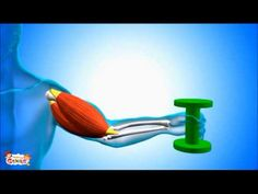 Tendons -What are they ? Human Body Video for Kids