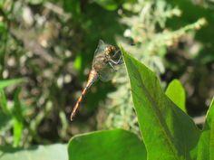 トンボ. dragonfly. 14 October 2016.
