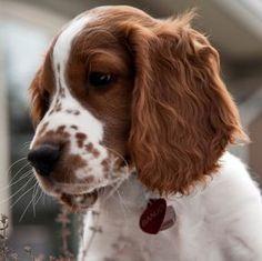 Banjo ~ Welsh Springer Spaniel Pup ~ Classic Look Welsh Springer Spaniel Puppies, Perro Cocker Spaniel, Brittany Spaniel Dogs, English Springer Spaniel, Cute Puppies, Dogs And Puppies, Corgi Puppies, Pet Dogs, Dog Cat