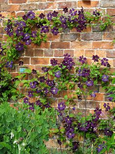 Purple Clematis - Etoile Violet