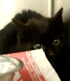 #WVIRGINIA ~ID 883S Jasper is a sweet 9mos male black kitten found stray on Dutch Rd. Poor baby is very, very scared & needs someone to give him lots of love! He's very sweet when you gain his trust & is in need a loving #adopter / #rescue at the KANAWHA / CHARLESTON HUMANE ASSOC  1248 Greenbriar St   #Charleston WV 25311  wvanimalshelter@suddenlink.net  Ph 304-342-1576