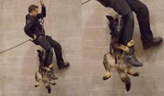 バンクーバー警察で働くK9「ニコ」の、訓練時の写真が話題になっています。 写真はバンクーバー警察がFacebookに投稿したもの。ニコ(Niko、5歳)にとっては初めての、5階の高さから行う懸垂下降の訓練だったそうです。全身ハーネスを装着した、安全が確保されている状態での訓練とはいえ、5階の高さからの降下は恐ろしかったのでしょう。ハンドラーさんの足によじ登っているところを「パチリ」されてしまいました。 懸垂下降とは、ロープ(ザイル)を使って高所から下降する方法のこと。Wikipediaによれば「軍事活動のヘリボーンや救助においては、ヘリコプターが着陸できない状況下にてホバリング中のヘリコプターなどから降りる際、またはCQBにおいて、建物屋上から内部に進入する際にも用いられる」ものなのだとか。これがバンクーバー警察での訓練メニューに含まれているということなのですね。 バンクーバー警察のK9たちは防弾ベストを着用 image by The Vancouver Police Department…