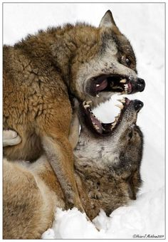 Cuddle with wolves