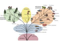 ...Biología general y un poco humano.  tradicionalmente, los seres vivos se han venido clasificando en SEIS REINOS: • eubacteria • archaea • protista • fungi • plantae • animalia sin embargo, actualmente este sistema de seis reinos se cree desfasado. entre las ideas más modernas, generalmente se acepta el sistema de TRES DOMINIOS: • archaea (originalmente archaebacteria) • bacteria (originahnente eubacteria) • eucariota