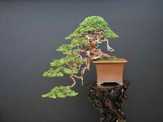 Tree: Itoigawa Shimpaku. Owner: Isao Omachi. Picture of the master Isao Omachi's Facebook feed.