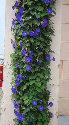 A pairing of Morning Glories and Moonflower would be nice and shower the garden with color in sun of day or dark of night!...Golddusttwin