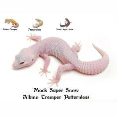 Leopard Gecko Mack Super Snow Albino Tremper Patternless Leopard Gecko Care, Leopard Gecko Morphs, Cute Reptiles, Reptiles And Amphibians, Reptile Cage, Reptile Enclosure, Guinea Pig Toys, Guinea Pigs, Exotic Fish