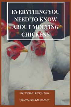 Are your chickens molting? If so, not to worry. This common situation is one that every chicken keeper will face at one point or another. Here are tips to deal with it. Raising Quail, Raising Ducks, Raising Goats, Raising Chickens, Chicken Home, Chicken Eating, Types Of Chickens, Chickens And Roosters, Backyard Chicken Coops