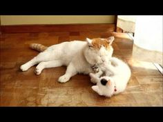 しっぼで子ネコを遊ばせるニャンコ | 笑える・泣ける・ほのぼの動画 犬・猫・赤ちゃん