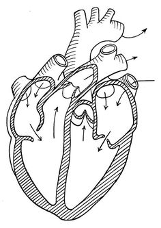 Coloring Page Lungs Didcticas Cuerpo Humano Pinterest - coloring page of human heart