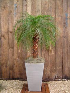 Adoro essa palmeira e ela pode ser utilizada na sombra sim, desde que o ambiente seja bem iluminado, quando está no sol precisa de muita água, quando na sombra ou meia sombra, poucas regas. O perigo é que tem espinhos, então cuidado! Essa é a Palmeira Fênix (Phoenix roebelenii)  Preço muda 1m: $$