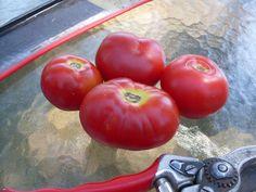 Tomato, Uralskiy Ranniy. 50 days! dwarf plant, good flavor.