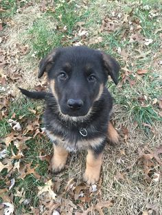 Lois the German Shepherd puppy