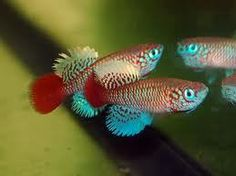 Bluefin Notho : Bluefin Notho Killifish killifish rachovii beira 98 30 + eggs at ...