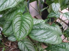 Silver Queen Philodendron