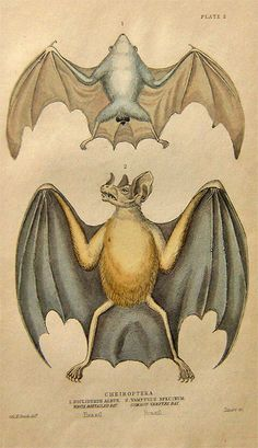 "Small 19th century print. Hand colored engraving. ""Cheiroptera. 1.Diclidurus Albus. White Boxtailed Bat. Brazil. 2. Vampyrus Spectrum. Common Vampyre Bat. Brazil."