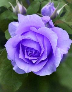 Beautiful Rose Flowers, Pretty Roses, Rose Flower Wallpaper, Rose Rise, Purple Roses, Scenery, Bloom, Decorations, Spring