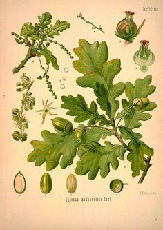 Oak botanical print
