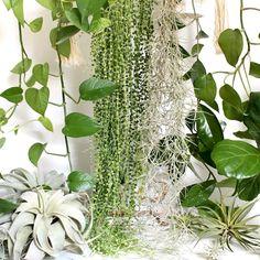 #airplants #trailingplants