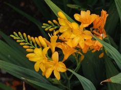Crocosmia 'Paul's Best Yellow' by Avondale Nursery, via Flickr