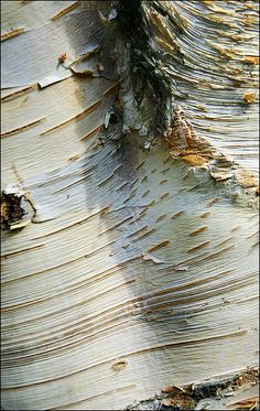 Bark detail of a Silver Birch tree at the Holocaust Memorial Garden in Hyde Park, London ~ Photo by...George Rex©