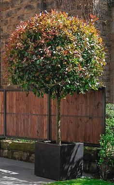 Red robin standard (Photinia) with a wide topiary head planted in a wide polystone cube. Front Garden Landscape, Garden Shrubs, Garden Trees, Garden Planters, Trees To Plant, Back Gardens, Small Gardens, Red Robin Tree, Patio Trees