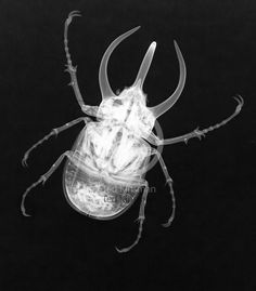 An X-ray of a large beetles. The insect is a Chalcosoma atlas Sulawesi (Atlas beetle) from Indonesia.