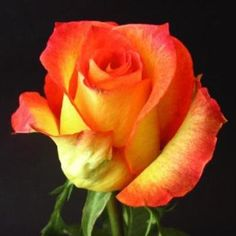 Finally realized where I get my color inspiration from :) FiftyFlowers.com - Lina Bicolor Yellow and Orange Rose