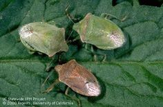 How to keep stink bugs out of your garden! :)