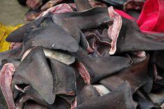 Morning shark fin harvest, Manta, Ecuador, May 2013