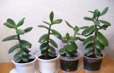 Очень популярное домашнее растение – толстянку – часто называют еще и «денежным деревом». По поверьям, оно привлекает достаток в дом. Оказывается, это неприхотливое растение – еще и настоящий лекарь: его сок отличается противовоспалительными, бактерицидными и даже противовирусными свойствами. 1. Мелкие травмы: ушибы, растяжения, порезы, нарывы и ожоги кожи Измельчить сочные листья толстянки, наложить на больное […]