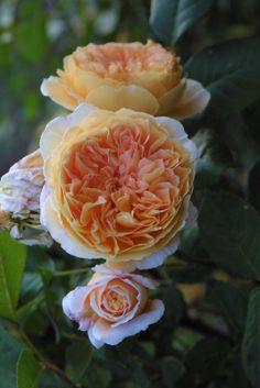tea clipper rose