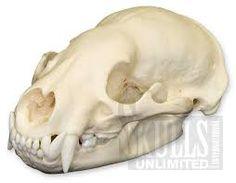 Image result for badger skull