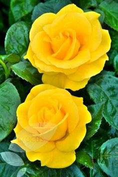 Yellow,Roses