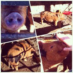 #100happydays day 60 - Old down manor piggies :)