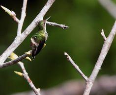 Foto bandeirinha (Discosura longicaudus) por Anselmo dAffonseca | Wiki Aves - A Enciclopédia das Aves do Brasil