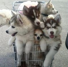 Husky puppies are to cute