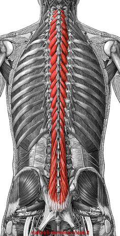 Multifidus Pictures | ... Chiropractic, Paraparaumu discusses Multifidus | Lotus Chiropractic