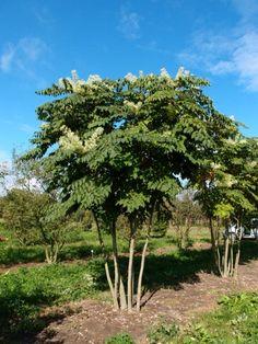 Aralia elata #tree #multitrunk #multistem www.vdberk.co.uk