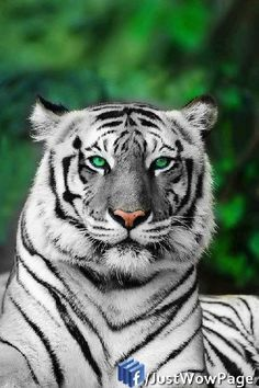 Amazing wildlife - White Tiger photo Our God has created the most wonderful things for us to enjoy! Beautiful Cats, Animals Beautiful, Gorgeous Eyes, Amazing Eyes, Beautiful Things, Big Cats, Cats And Kittens, Siamese Cats, Regard Animal