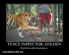 Fence Inspector, Golden - Would like to offer his assistance.  #Golden #Tiger #NoahsArk     www.noahs-ark.org