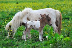 mini horse and mini-mini horse! but the mini-mini horse looks like a little baby donkey. Baby Horses, Cute Horses, Pretty Horses, Horse Love, Beautiful Horses, Animals Beautiful, Mini Horses, Beautiful Beautiful, Horse Pictures