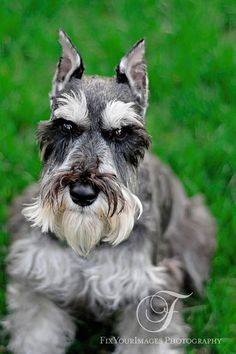beautiful schnauzer just couldn't bring myself to has my Dixie's ears chipped :( I love her dumo ears