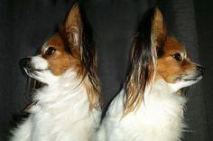 Hundetrick: Nein sagen, Kopf schütteln