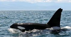 #Sea #Ocean #Animals www.pegasebuzz.com | Orca, orque, killer whale, black fish. | www.ShareMySea.fr