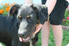 #OHIO #URGENT ~ Max is a 9mos Doberman Pinscher mix who's a very sweet, friendly guy. He's very gentle with a great personality & gets along well with other dogs/kids. He's in need of a loving #adopter / #rescue at MEIGS COUNTY DOG SHELTER   41790 Fairgrounds Lane    #Pomeroy OH 45769    meigscountydogshelter@yahoo.com  Ph 740-992-3779