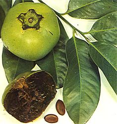 Black Sapote. This fruit is a species of persimmon that is native to eastern Mexico and Central America south to Colombia. Other names include Chocolate Pudding Fruit, Chocolate Persimmon and (in Spanish) Zapote Prieto.