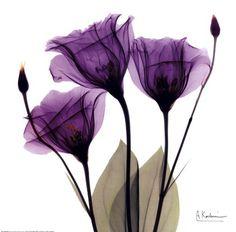 Framed X-ray Royal Purple Gentian Print