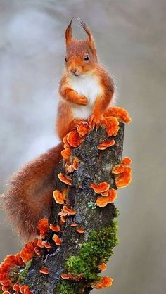 """faerieforests: """" Red squirrel by Christophe Salin """" faerieforests: """"Ardilla roja de Christophe Salin"""" Nature Animals, Animals And Pets, Baby Animals, Cute Animals, Autumn Animals, Hamsters, Rodents, Beautiful Creatures, Animals Beautiful"""
