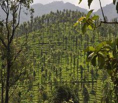 Beautiful view of tea plantations resorts in wayanad